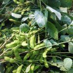 8/6 本日、高速道路脇の枝豆を収穫しました。